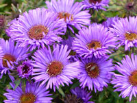 Aster - September Flower
