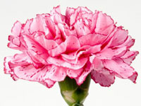 Carnation - January Flower