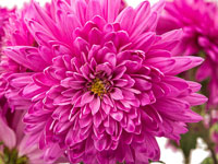 Chrysanthemum - November Flower