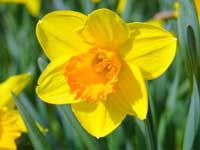 Daffodil - March Flower