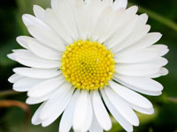 Daisy - April Flower