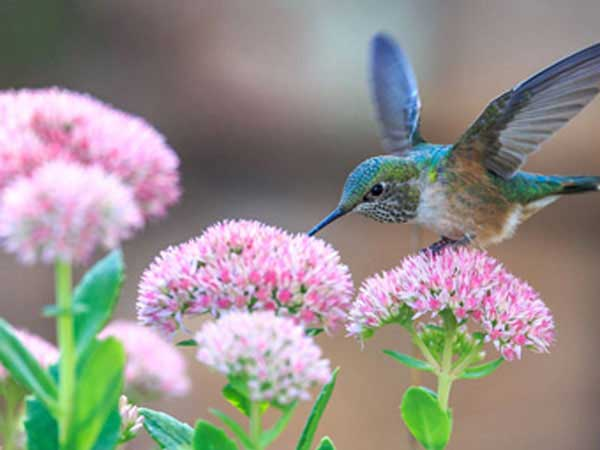 Hummingbird taking pollen from pink Spring flowers.