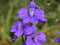 Larkspur - July Flower