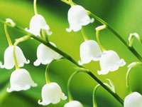 Lily of the Valley - May Flower