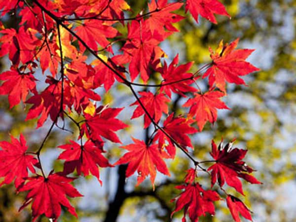 Maple leaves in fall showing their red color.