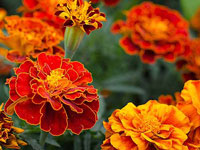 Marigold - October Flower