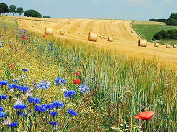 Blue cornflower and red corn poppy in Belgium fields.