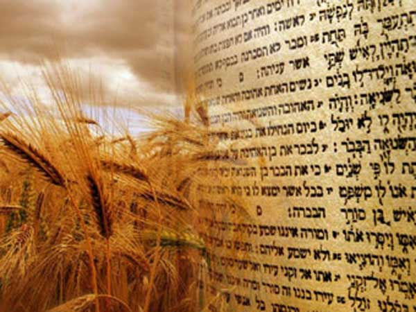 Torah scriptures and golden brown wheat.